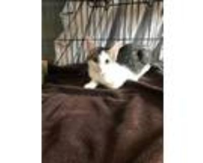 Adopt Nars a Gray or Blue Siamese / Domestic Shorthair / Mixed cat in Palm