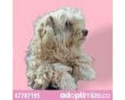 Adopt 47787195 a White Poodle (Standard) / Mixed dog in El Paso, TX (31447510)