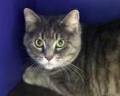 Adopt EMEE a Gray or Blue Domestic Mediumhair / Mixed (medium coat) cat in