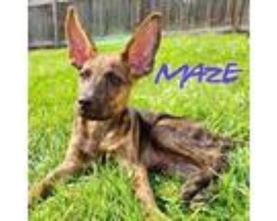 Adopt Maze a Pharaoh Hound, Mixed Breed