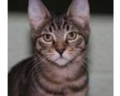 Adopt Thelma a Brown or Chocolate Domestic Shorthair / Domestic Shorthair /