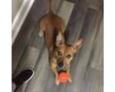 Adopt Scrappy a Miniature Pinscher, Terrier
