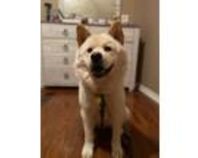 Adopt Milo a Tan/Yellow/Fawn Chow Chow / Mixed dog in Houston, TX (29785492)