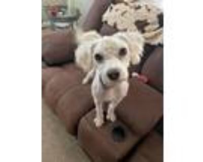 Adopt Dewey a White Poodle (Miniature) dog in Castle Rock, CO (32119363)