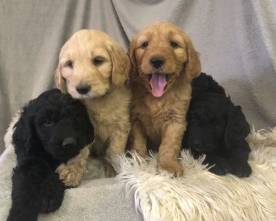 $900 F1 Standard Goldendoodle Puppies