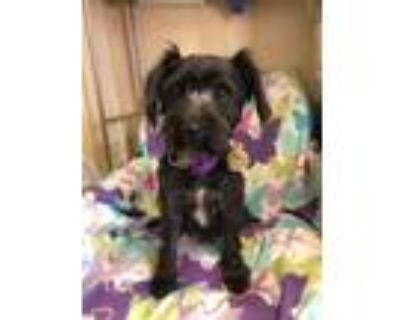 Adopt Alice a Black - with White Cairn Terrier / Schnauzer (Miniature) / Mixed