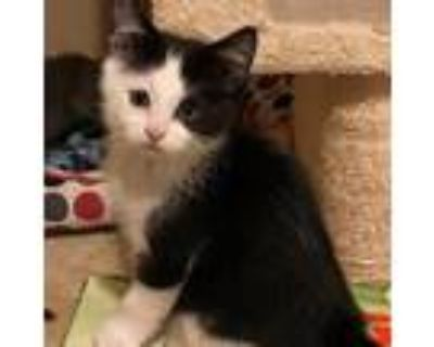 Adopt Bobbi a Black & White or Tuxedo Domestic Shorthair / Mixed cat in St.