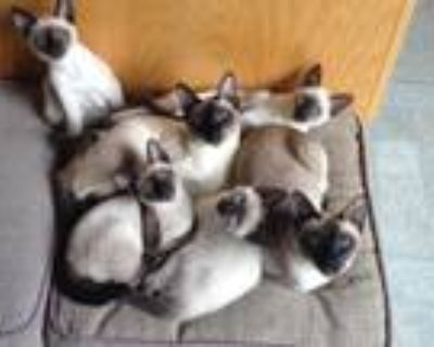 Thai Kittens Also Known As Old Style Siamese