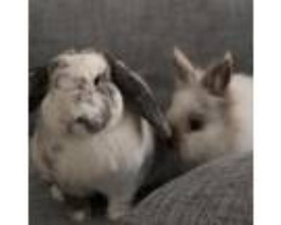 Adopt Tufti a Other/Unknown / Mixed rabbit in Richmond, CA (31984513)