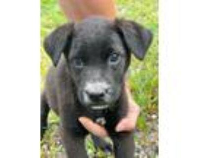 Adopt Sari a Black Border Collie / Labrador Retriever / Mixed dog in Newark