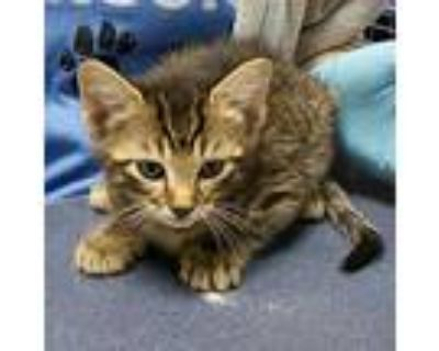 Tamagotchi, Domestic Shorthair For Adoption In Beaumont, Texas
