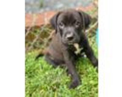 Adopt Nimitz a Labrador Retriever