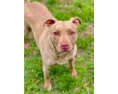 Adopt Faith a Tan/Yellow/Fawn American Pit Bull Terrier / Mixed dog in