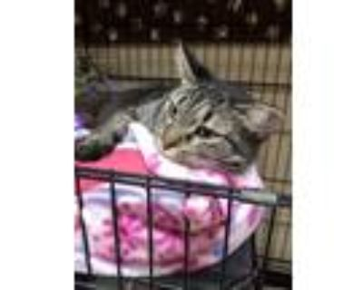 Adopt Abby a Gray, Blue or Silver Tabby Domestic Shorthair / Mixed (short coat)