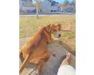 Adopt Sunflower (Sunny) a Tan/Yellow/Fawn - with White Beagle / Dachshund dog in