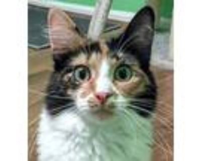 Adopt Lollipop a Orange or Red (Mostly) Domestic Mediumhair / Mixed cat in