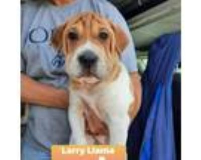Adopt Larry Llama a Brown/Chocolate Shar Pei / Beagle / Mixed dog in Mission