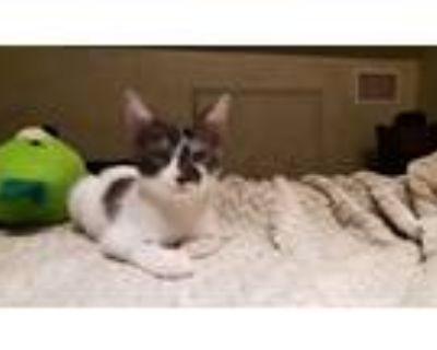 Adopt White & Black a Black & White or Tuxedo American Shorthair / Mixed (short
