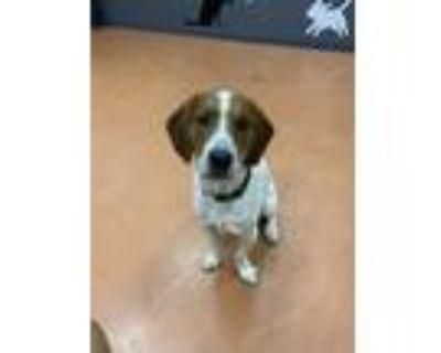 Adopt Toboggan Racers a Basset Hound / Mixed dog in Alexandria, VA (32030703)