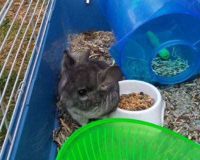 Exotic Chinchilla, with complete setup of three foot cage, water bottle, food, and toys.Will deliver