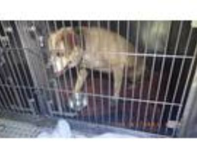 Adopt LEON a Tan/Yellow/Fawn Labrador Retriever / Mixed dog in Indianapolis