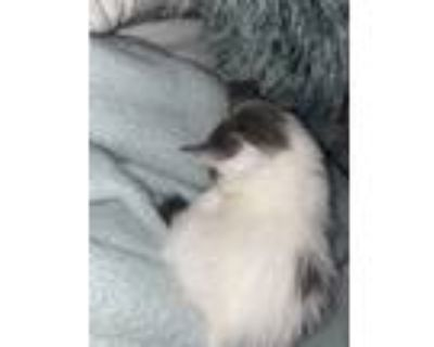 Adopt Zoro a Black & White or Tuxedo American Shorthair / Mixed (medium coat)