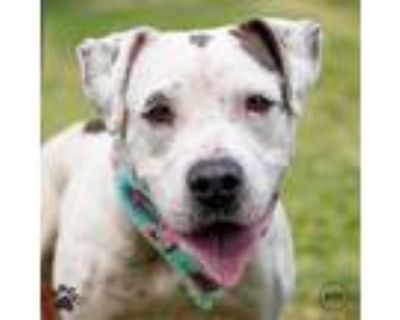 Adopt Loyalty a American Pit Bull Terrier / Mixed dog in Richmond, VA (32035524)