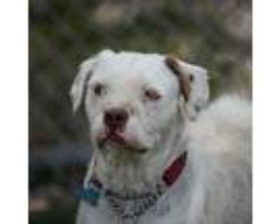 Adopt Kirby a Pit Bull Terrier, Yorkshire Terrier