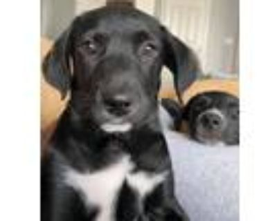 Adopt Pearl - Fostered in Omaha a Beagle, Mixed Breed