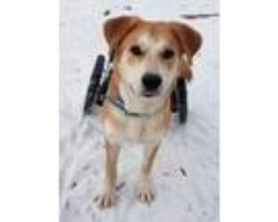Adopt Harry a Tan/Yellow/Fawn - with White Golden Retriever / Mixed dog in