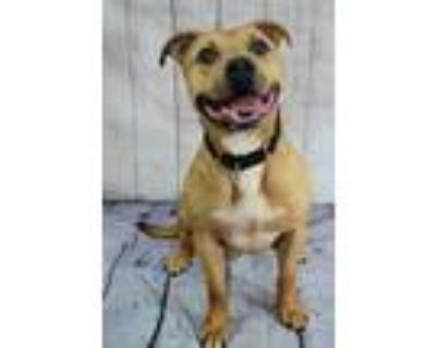Adopt Nippsy a Brown/Chocolate American Pit Bull Terrier / Mixed dog in