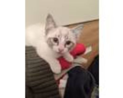 Adopt Bumble a Cream or Ivory American Shorthair / Mixed (short coat) cat in