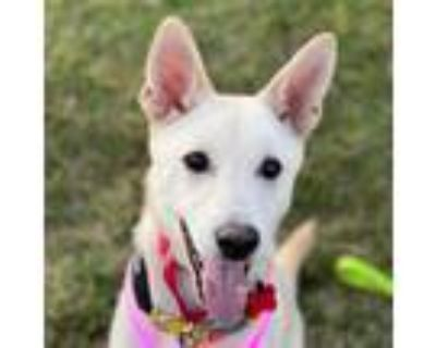 Adopt Tyrone IN LA!!! a White - with Tan, Yellow or Fawn Jindo / Spitz (Unknown