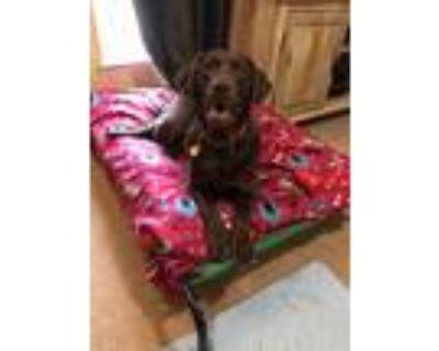 Adopt Lena a Brown/Chocolate Labrador Retriever / Mixed dog in Canton