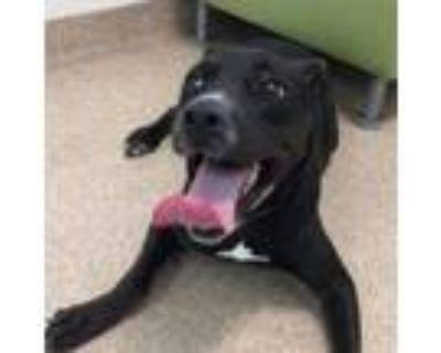 Adopt Fergie a Black Labrador Retriever, Pit Bull Terrier
