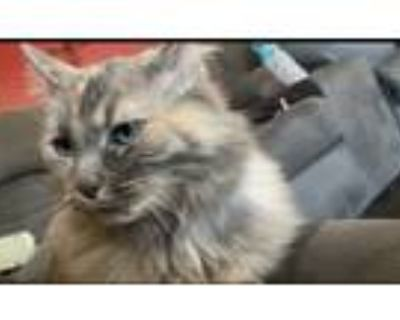 Adopt Cat a Brown or Chocolate (Mostly) Maine Coon / Mixed (long coat) cat in
