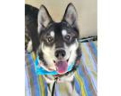 Adopt Frost a Gray/Silver/Salt & Pepper - with White Siberian Husky / Mixed dog