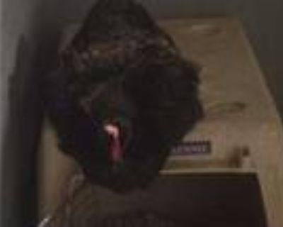 Adopt a Black Chicken / Mixed bird in Van Nuys, CA (31630598)