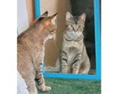 Kitty Seven - Female Foster Or Forever Home Needed, Domestic Shorthair For