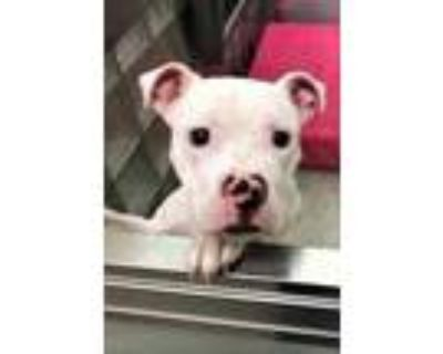 Adopt Spotty a White American Pit Bull Terrier / Mixed dog in Washington