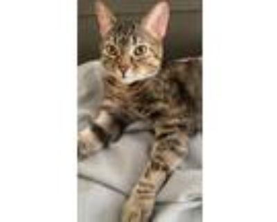 Adopt Tiger Lilly & Thomas a Domestic Short Hair