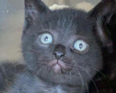 P B Phillip - Domestic Shorthair - Kitten Male
