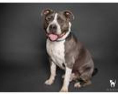 Adopt Marco a Gray/Silver/Salt & Pepper - with White American Pit Bull Terrier /