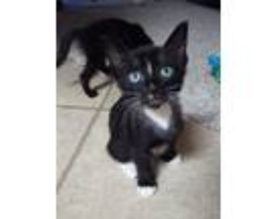 Adopt Rolly a Spotted Tabby/Leopard Spotted Domestic Shorthair cat in