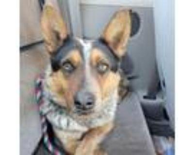 Adopt Elton a Brown/Chocolate Blue Heeler dog in Wichita, KS (31158165)