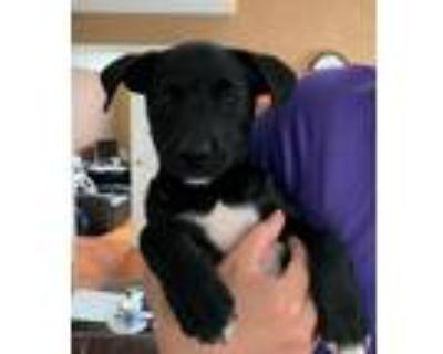 Adopt Pita a Black - with White Labrador Retriever / Mixed dog in Doylestown
