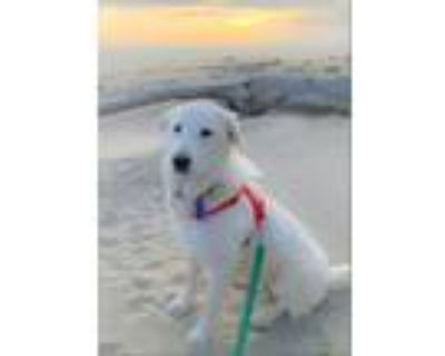 Adopt Atticus a Great Pyrenees