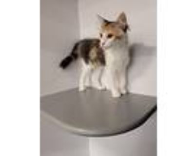 Charlie Brown, Calico For Adoption In Chandler, Arizona