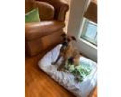 Adopt Killian a Tan/Yellow/Fawn Boxer / Mixed dog in Ft Worth, TX (29392790)