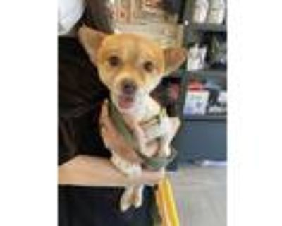 Suri, Spitz (unknown Type, Small) For Adoption In Beverly Hills, California